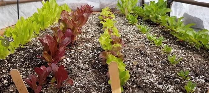Lettuce in raised beds